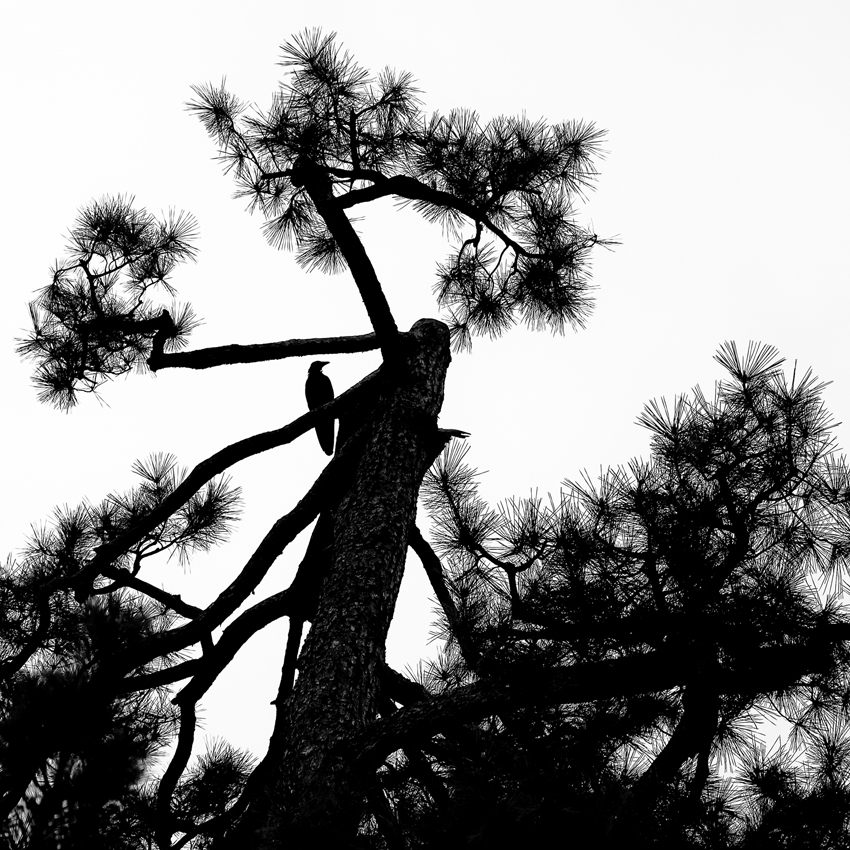 Bird and Pine_15x15_photo_web.jpg