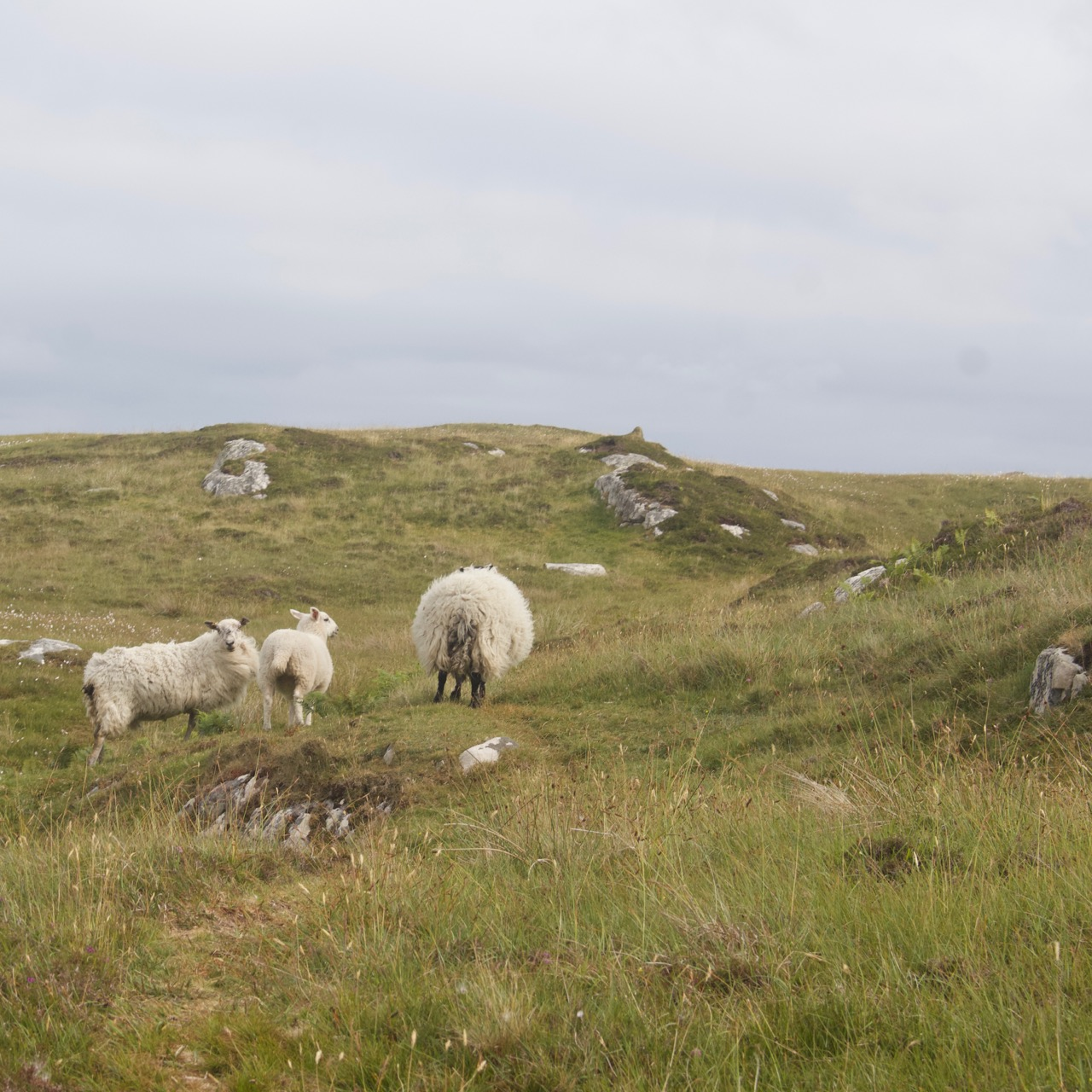 hebrides-sheep - 1.jpg