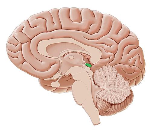 Glandula Pineal - La glándula pineal, también conocida como cuerpo pineal, conarium o epífisis cerebral es una pequeña glándula endocrina en el cerebro de los vertebrados. Produce melatonina, una hormona derivada de la serotonina que afecta a la modulación de los patrones del sueño, tanto a los ritmos circadianos como estacionales.