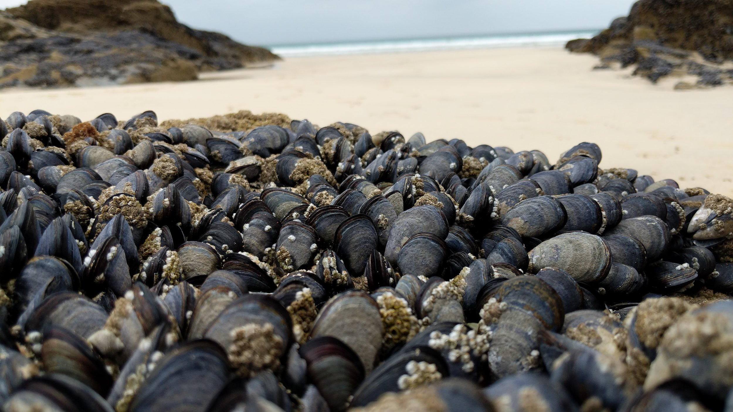 Mussels are shellfish native to UK waters, and are highly efficient filter feeders.jpg