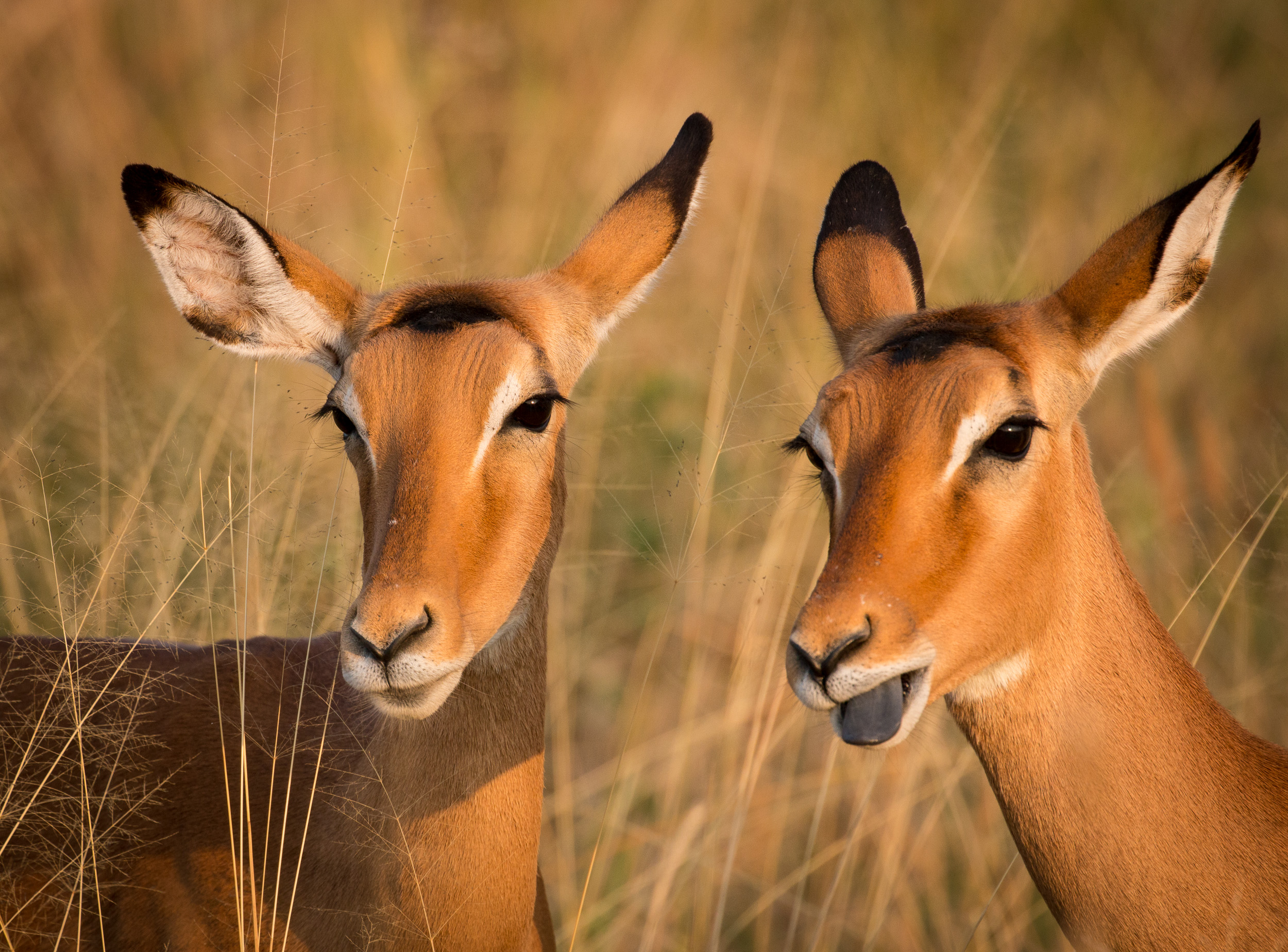 Two Impalas I