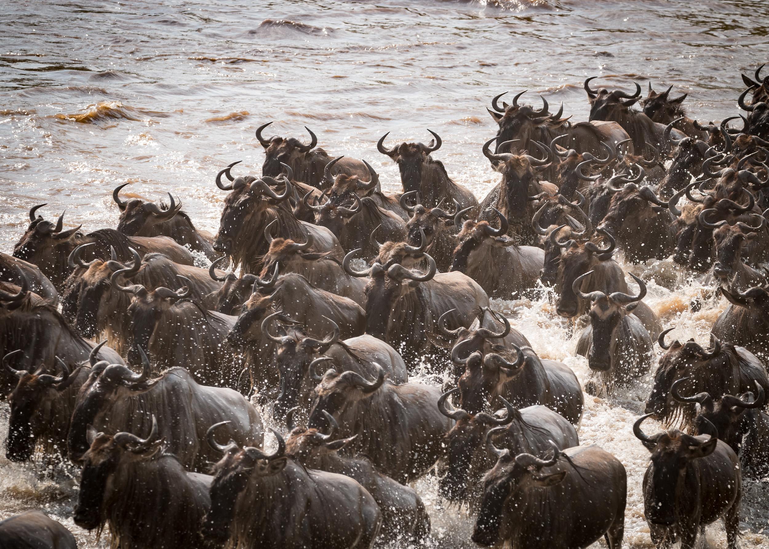 Wildebeest Crossing I