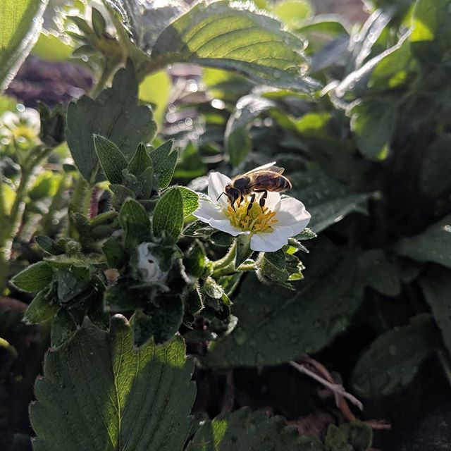 my #honeybees pollinating our strawberries earlier in the season.  #beekeeping #carniolan