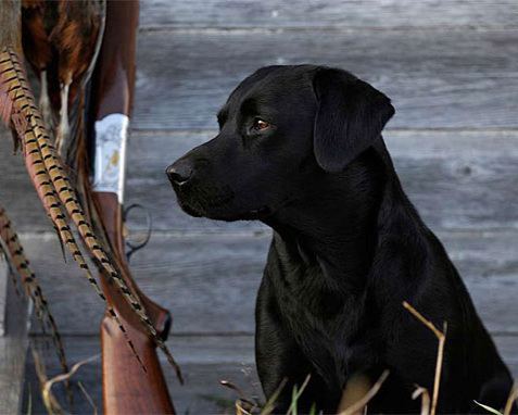 gentlemans_gundog_09_2.jpg