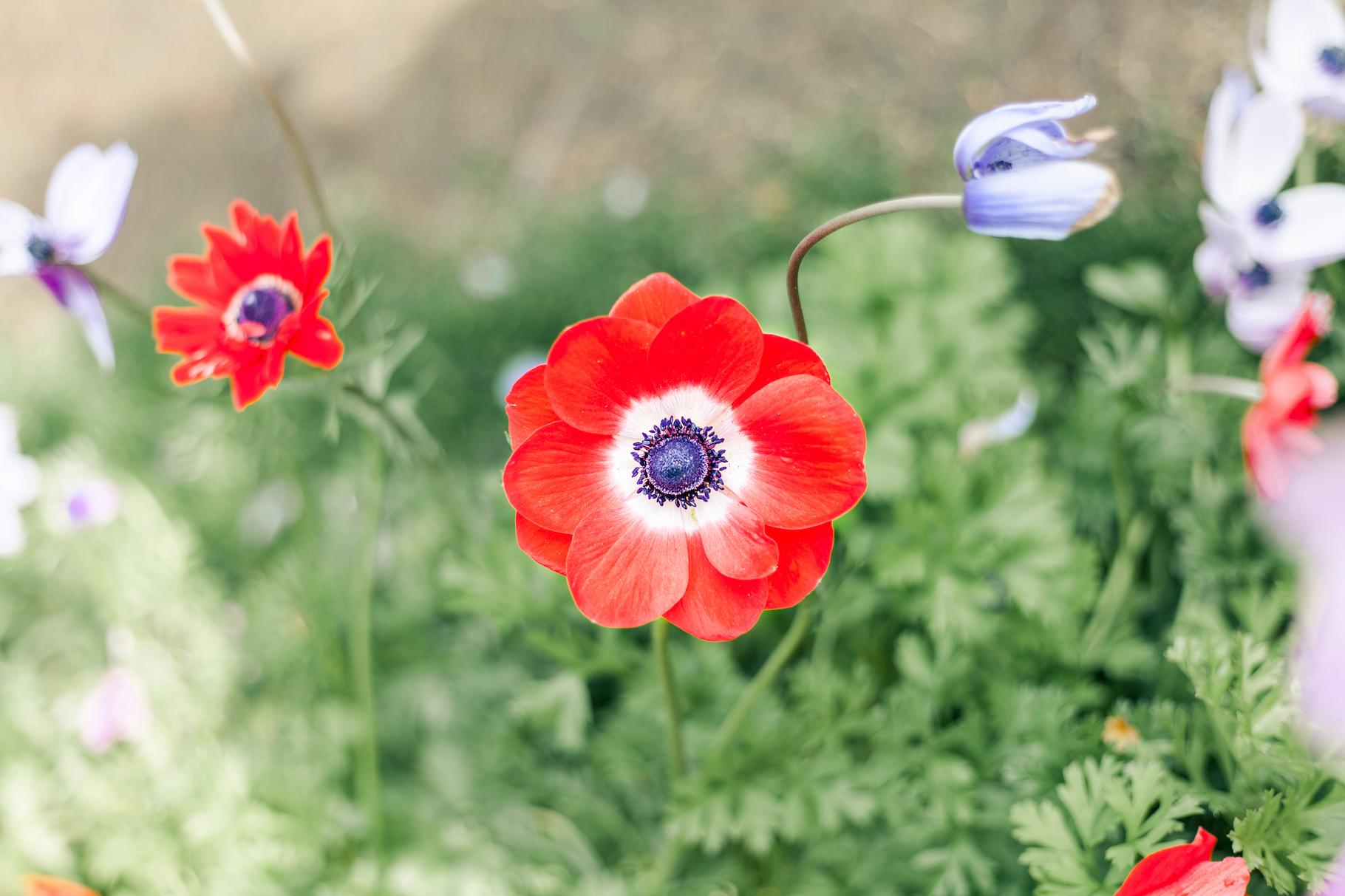 Netherlands Poppy.jpg