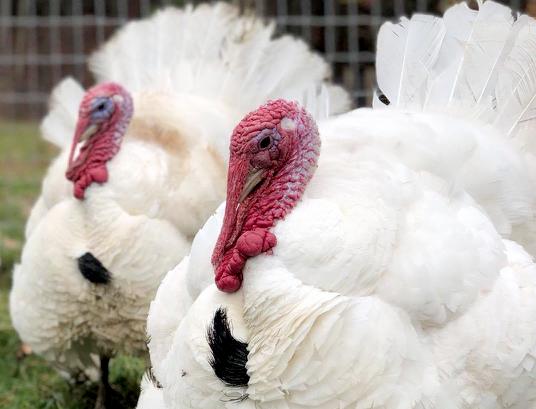 2 turkeys cropped.jpg