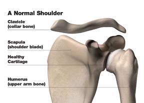 normal_shoulder_w.jpg