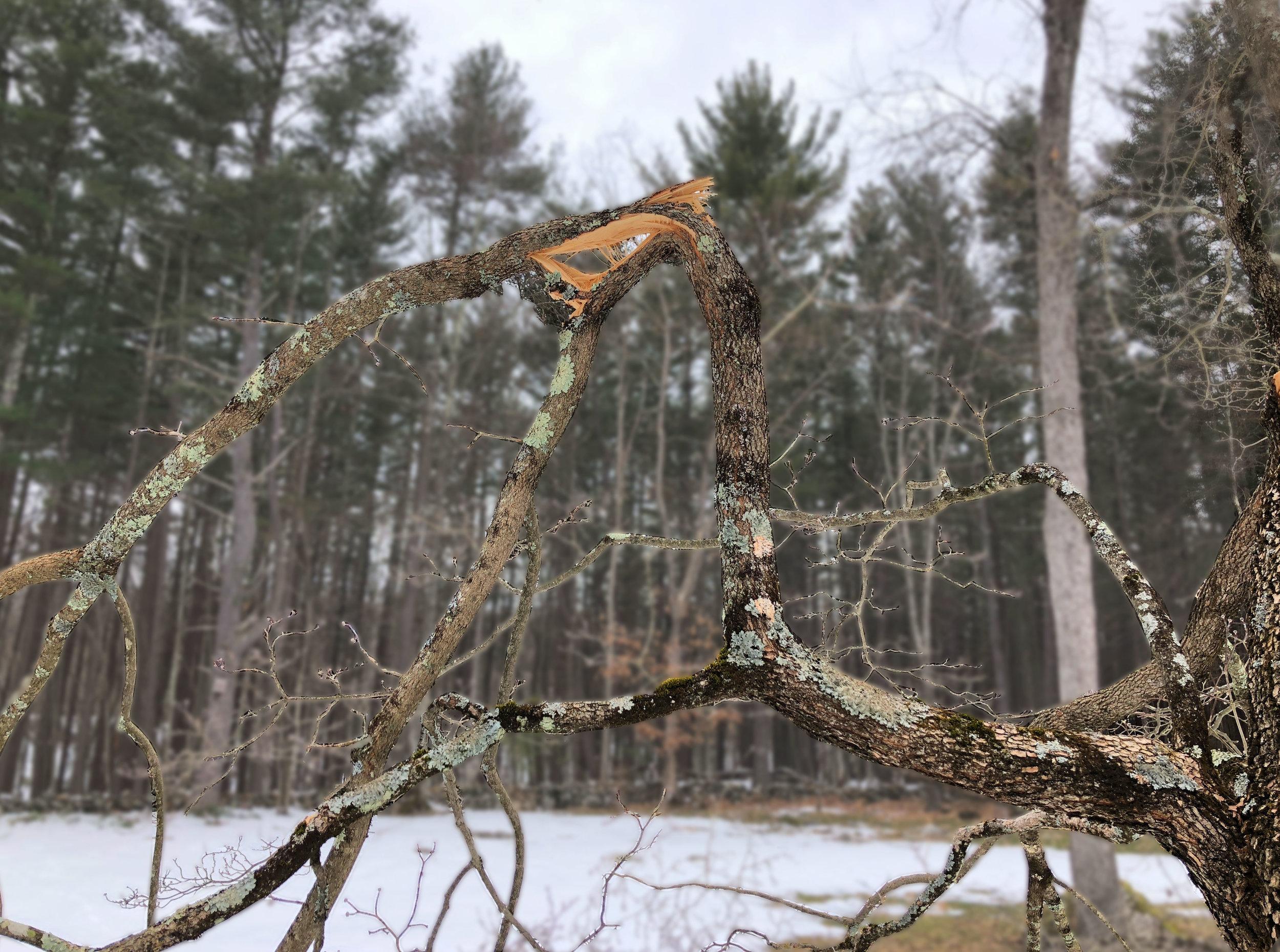 Bransfield-Tree copy.jpg