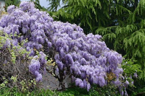 2. Blue Chinese Wisteria