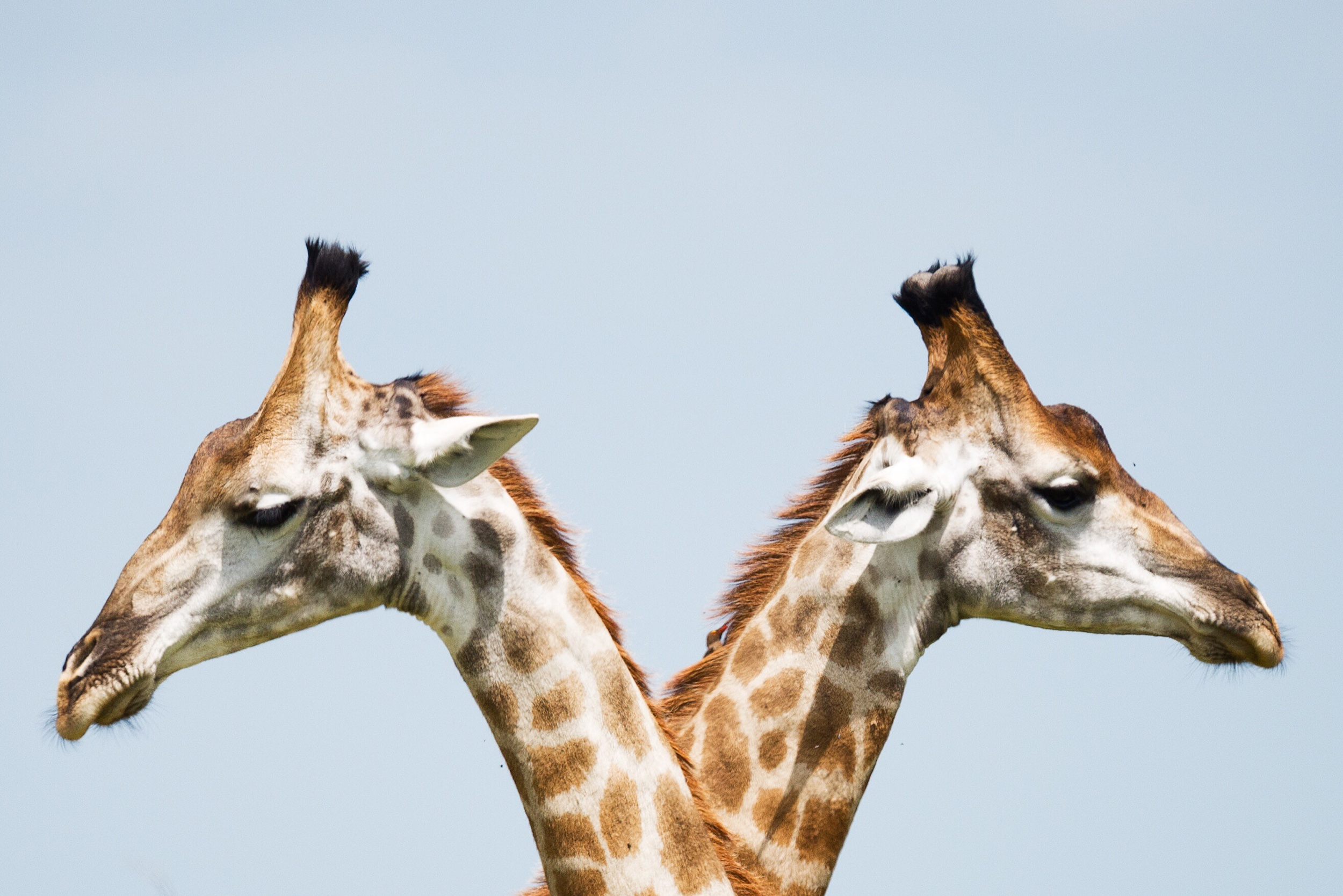 Much like internet interviews, two giraffes are better than one. Now if you can somehow get two giraffe interviews… well, that would surely break the internet.