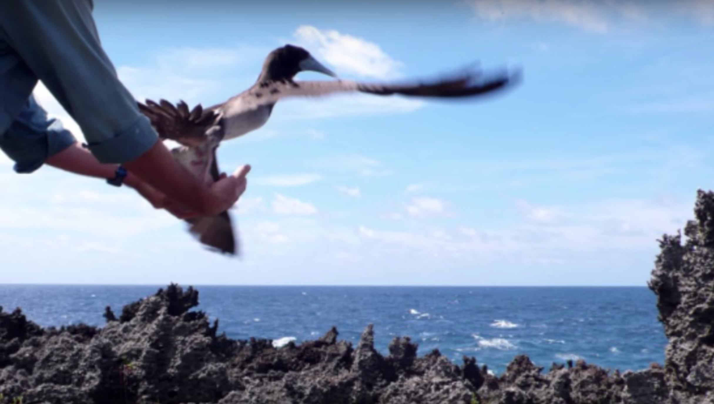 Christmas Island — releasing a brown booby.
