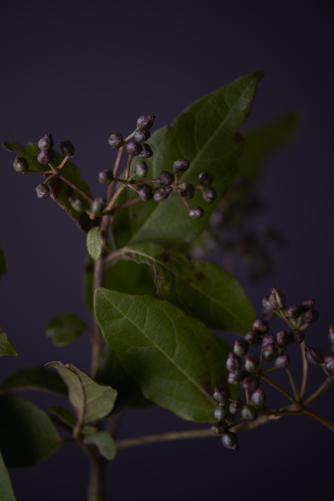 Figure 2.  Antioxidant-rich Kakadu Plum extract helps reduce UV damage while Rosalina and Tasmanian Lavender essential oils nourish the skin.