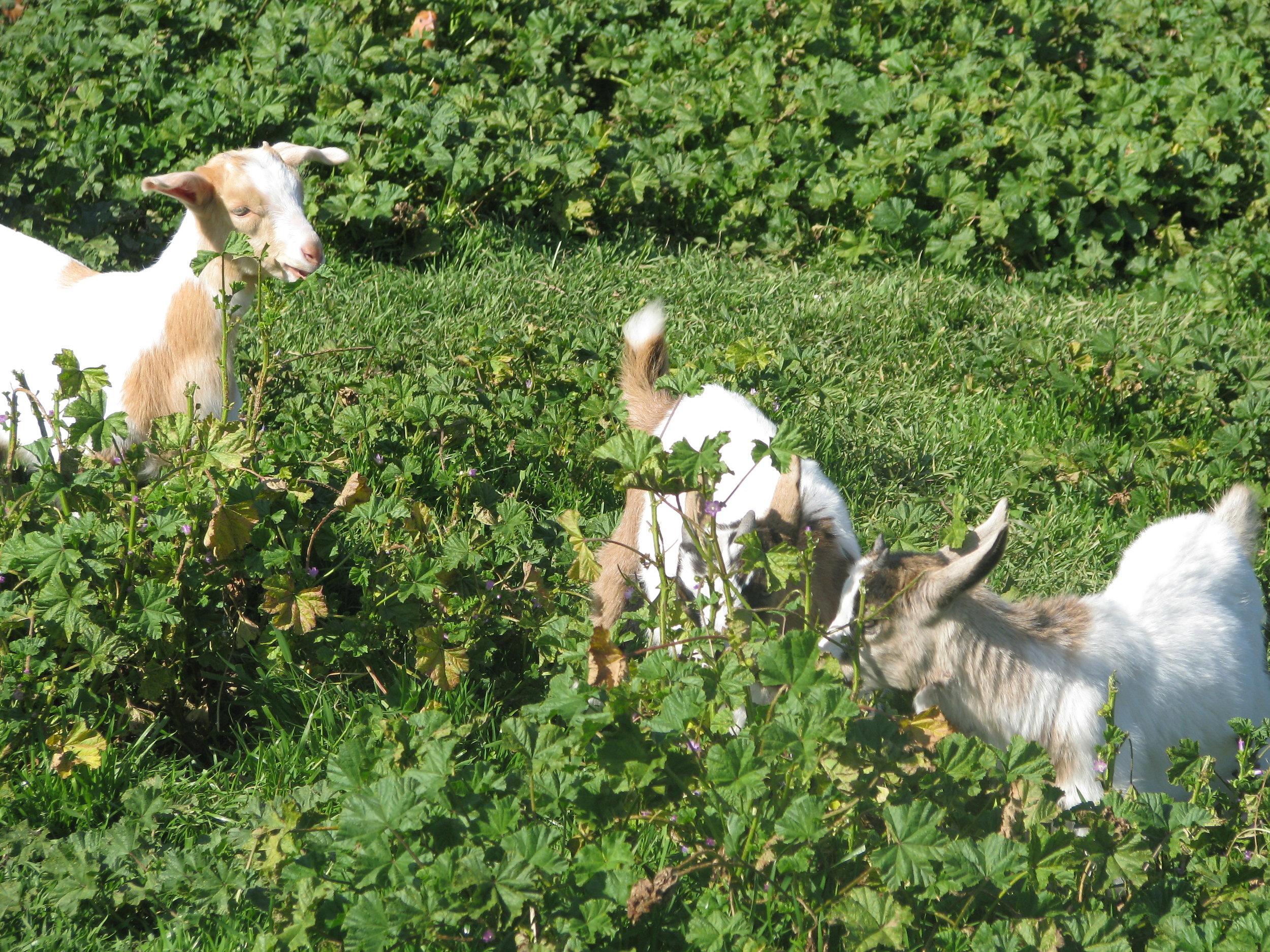 goats).JPG