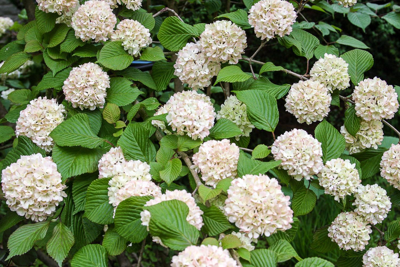Viburnum in bloom