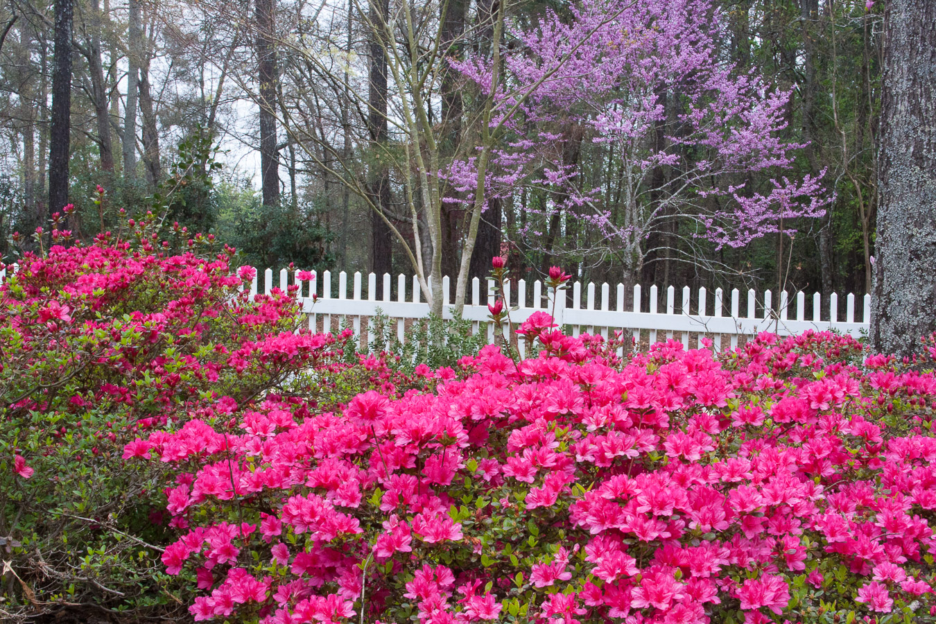 Knowleton-garden-azaleas and redbud (1 of 1).jpg