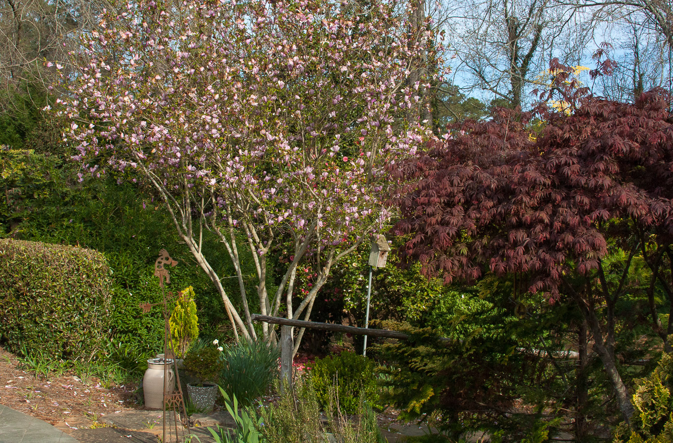 Cavan-pink magnolia in bloom (1 of 1).jpg