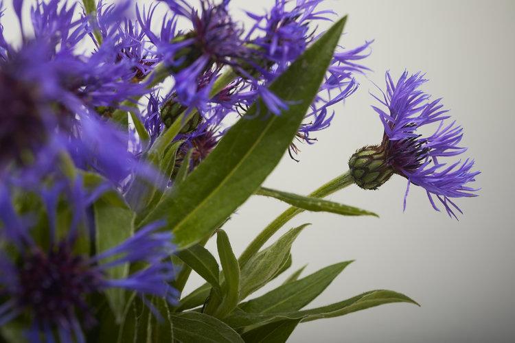 19-05-17-ipomea_fleurs_-_MG_0009.jpg