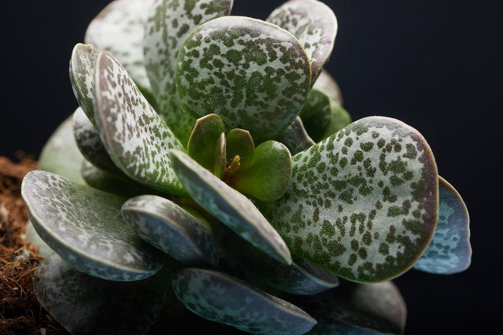 mai+09+2019-ipomea_plantesinterieur_-_MG_8622.jpg