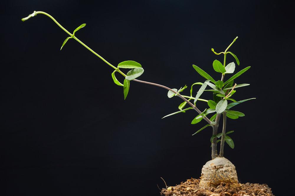 mai+09+2019-ipomea_plantesinterieur_-_MG_8750.jpg