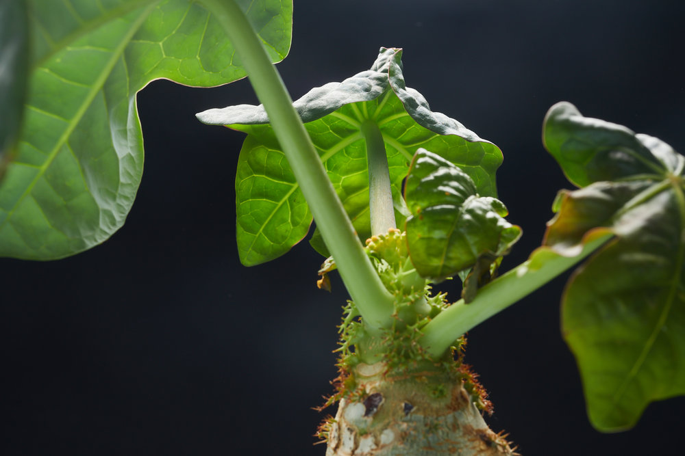 mai+09+2019-ipomea_plantesinterieur_-_MG_9006.jpg