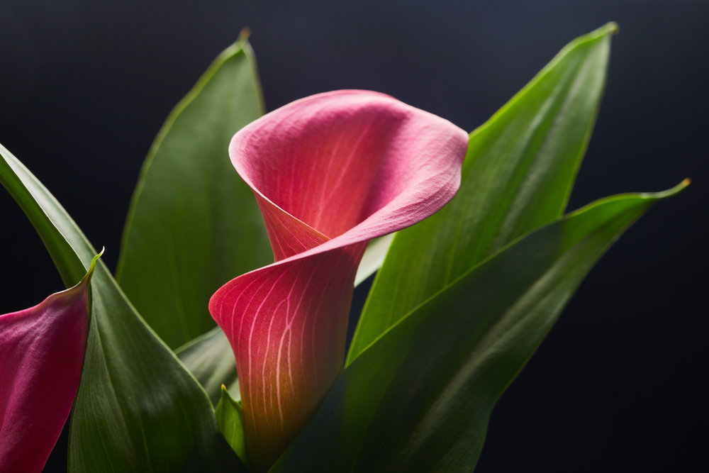 mai+09+2019-ipomea_plantesinterieur_-_MG_9270.jpg