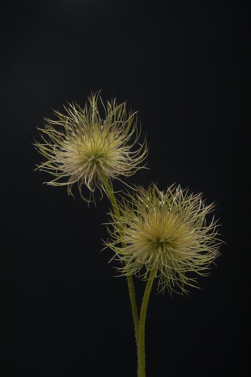 19-05-17-ipomea_fleurs_-_MG_0881.jpg
