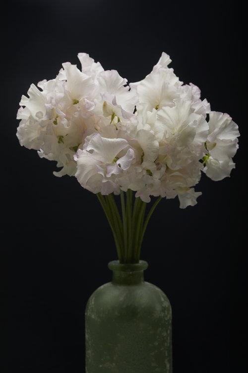 19-05-17-ipomea_fleurs_-_MG_0994.jpg
