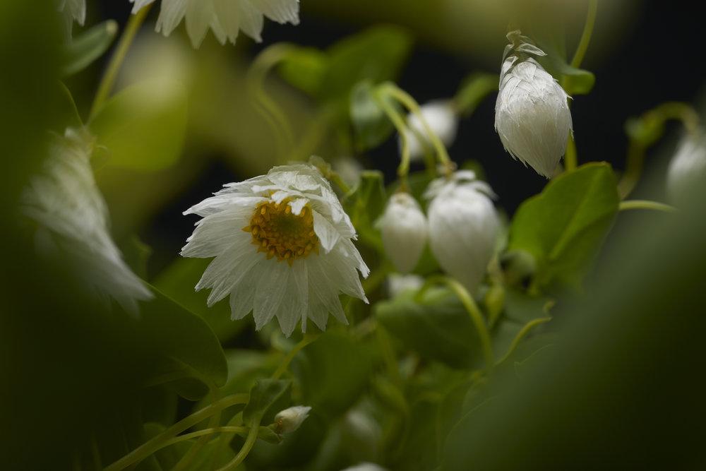 19-05-17-ipomea_fleurs_-_MG_1022.jpg