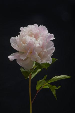 19-05-22-ipomea_fleurs_-_MG_1450.jpg