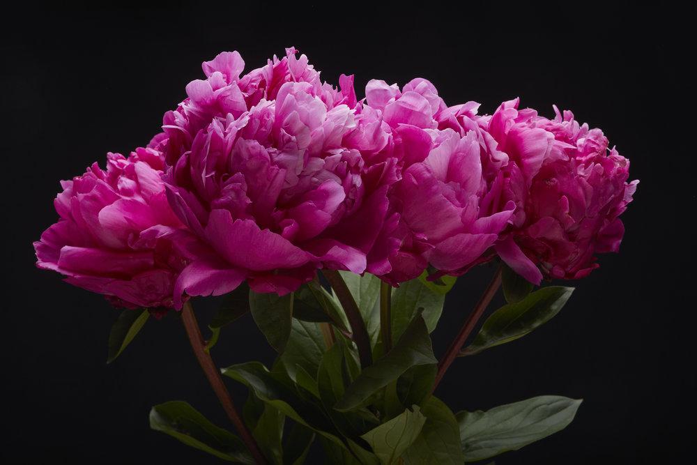 19-05-22-ipomea_fleurs_-_MG_1535.jpg