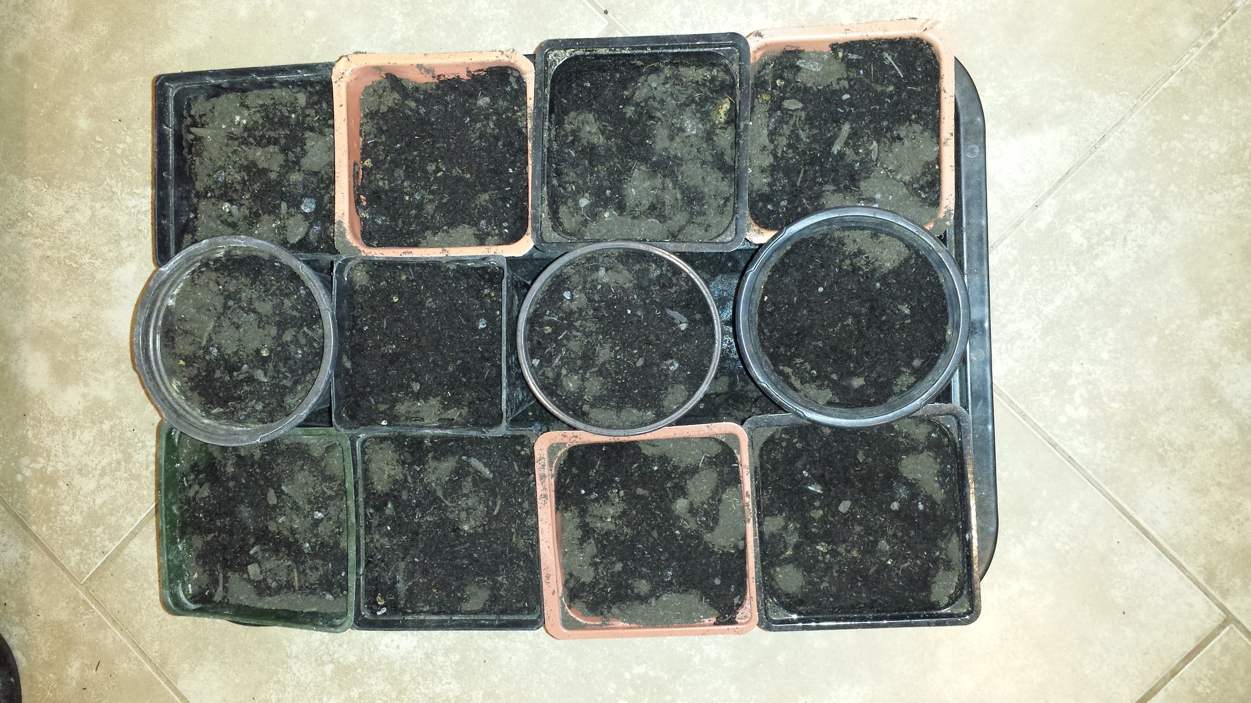 The square pots were a little bigger than the standard 4 inchers, so they each hold 4 seeds, while the pots in the middle all hold 2-3 seeds each. This is a tray of approximately 40 seeds right here!