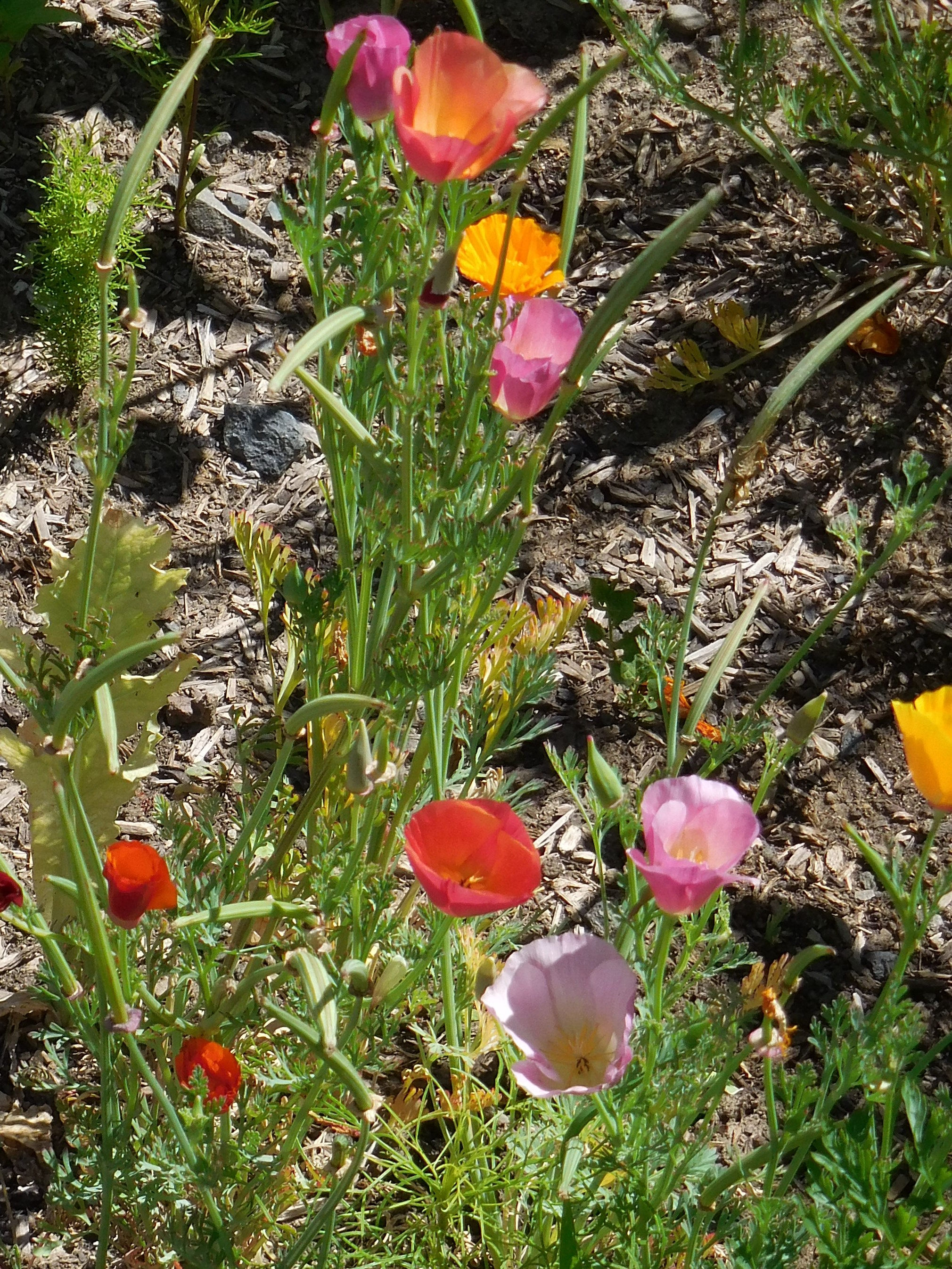California poppies are actually their own species. I planted 2 varieties in my poppy row anyway!