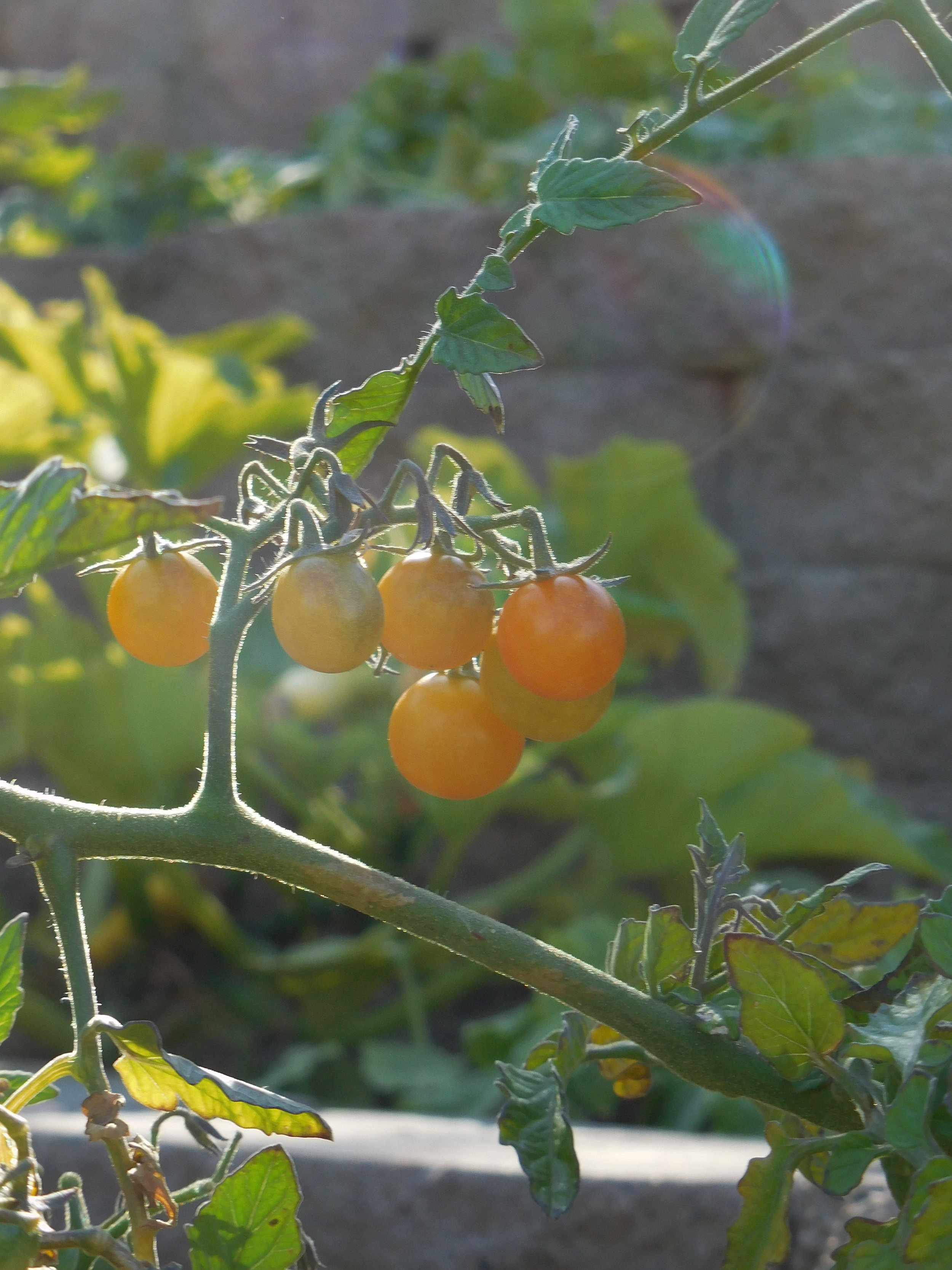 Sun Sugar cherry tomatoes, one of many varieties I started last week. Keeping my eye on the goal, here! These were grown in my Washington state garden.