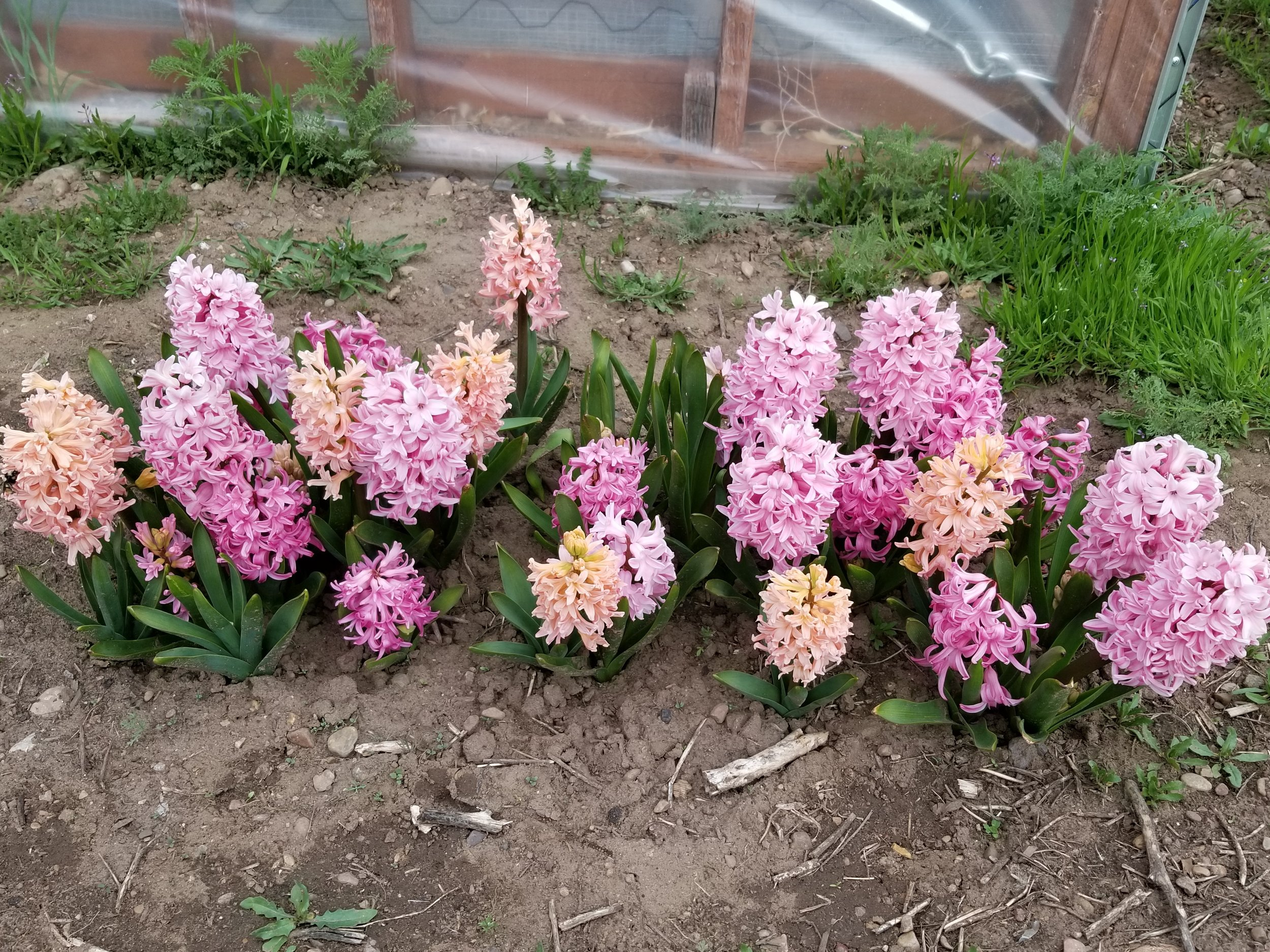 Lovely mix of hyacinths behind the greenhouse. Next year I need to add some other colors!