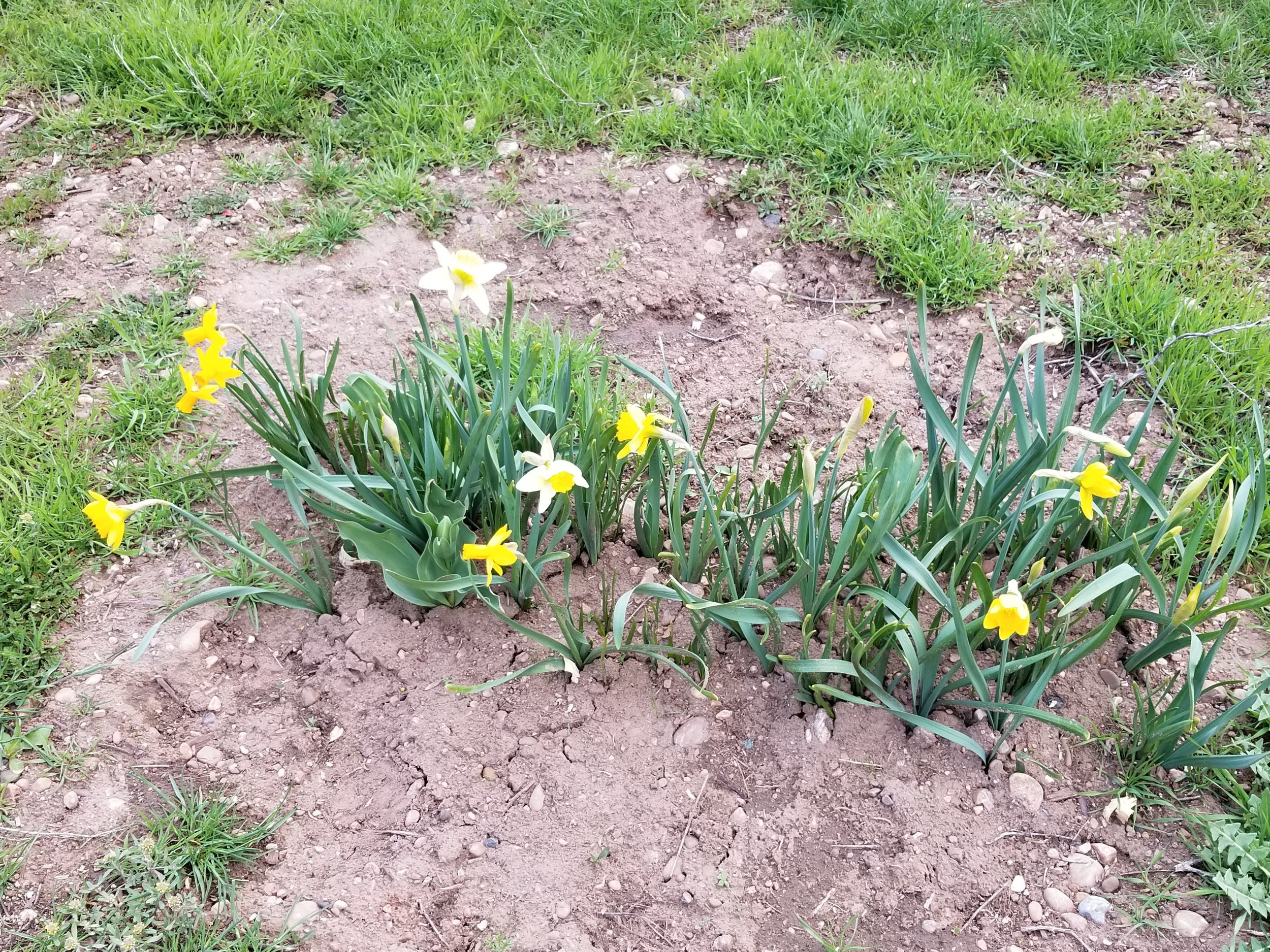 One last patch of daffodils in back. I didn't think these would come back this year, so this is a pleasant surprise!