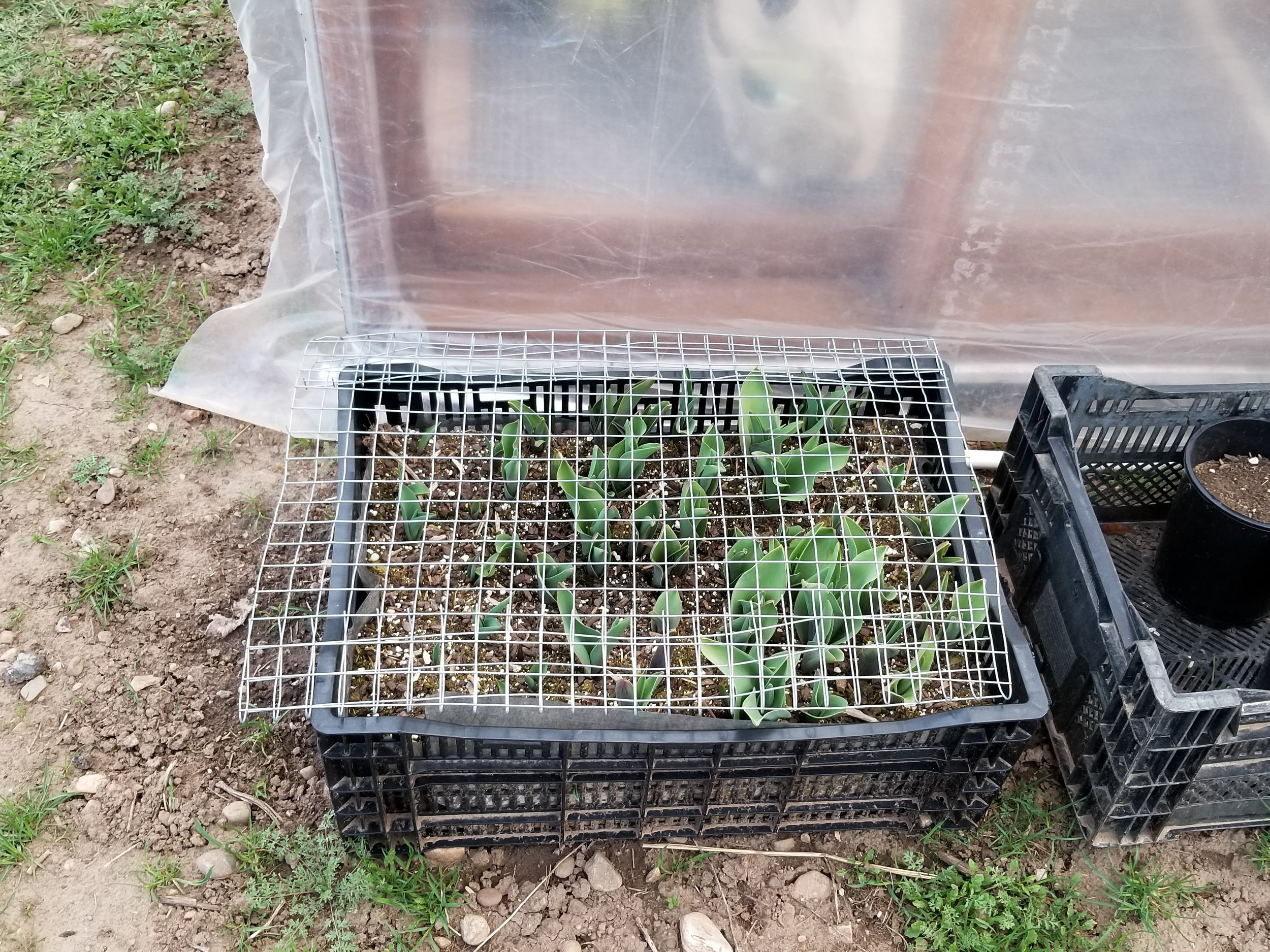 My crate tulips are coming up! I'm going to move them into the greenhouse this week, now that we've got the one side rolled up, so that I can take off the wire without fear of DEER.