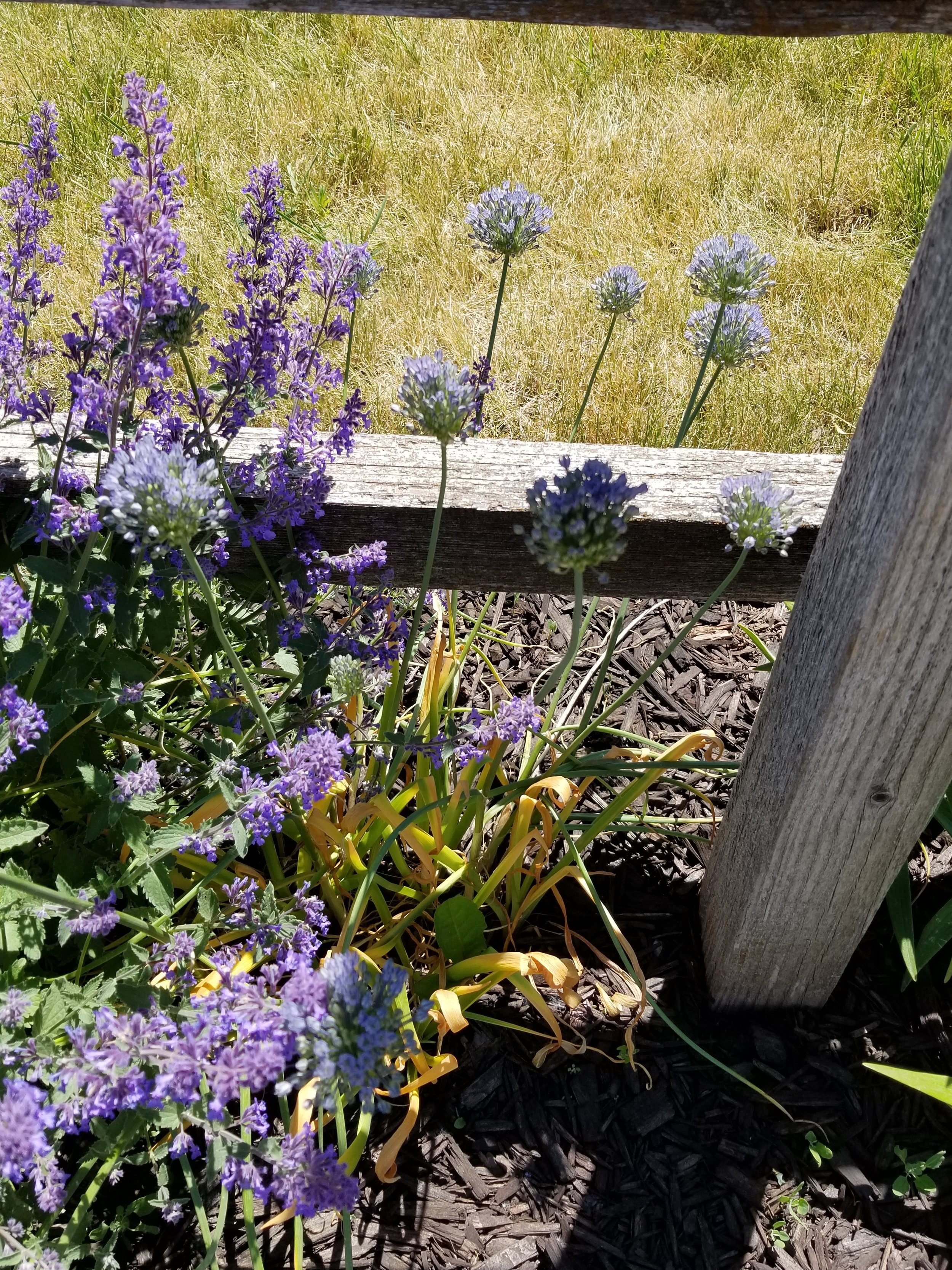 My blue alliums have also started blooming, though they are a little harder to get in a picture.