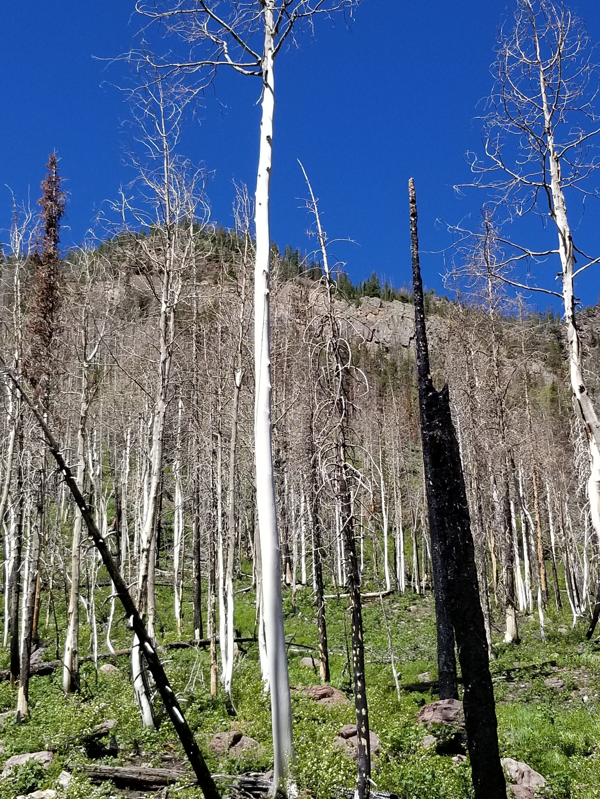 We hiked through a burned area yesterday. There were wildflowers everywhere, but what really stood out to me were these beautiful pure white aspen trees, that had the outer layer of bark burned off.