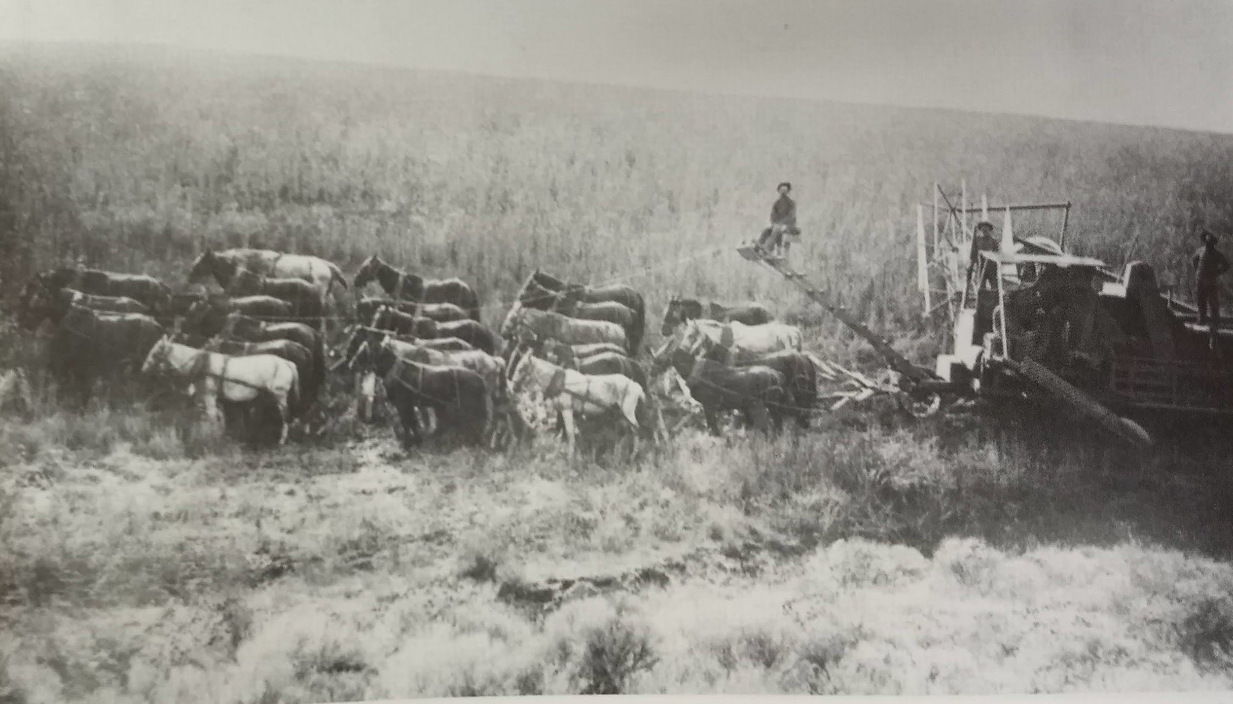 "An early ground power combine on C.R. Pueghs Ranch, 7 miles west of Condon- 1908. In this era Condon came to be known as ""Wheat City"" for it's large crop production."