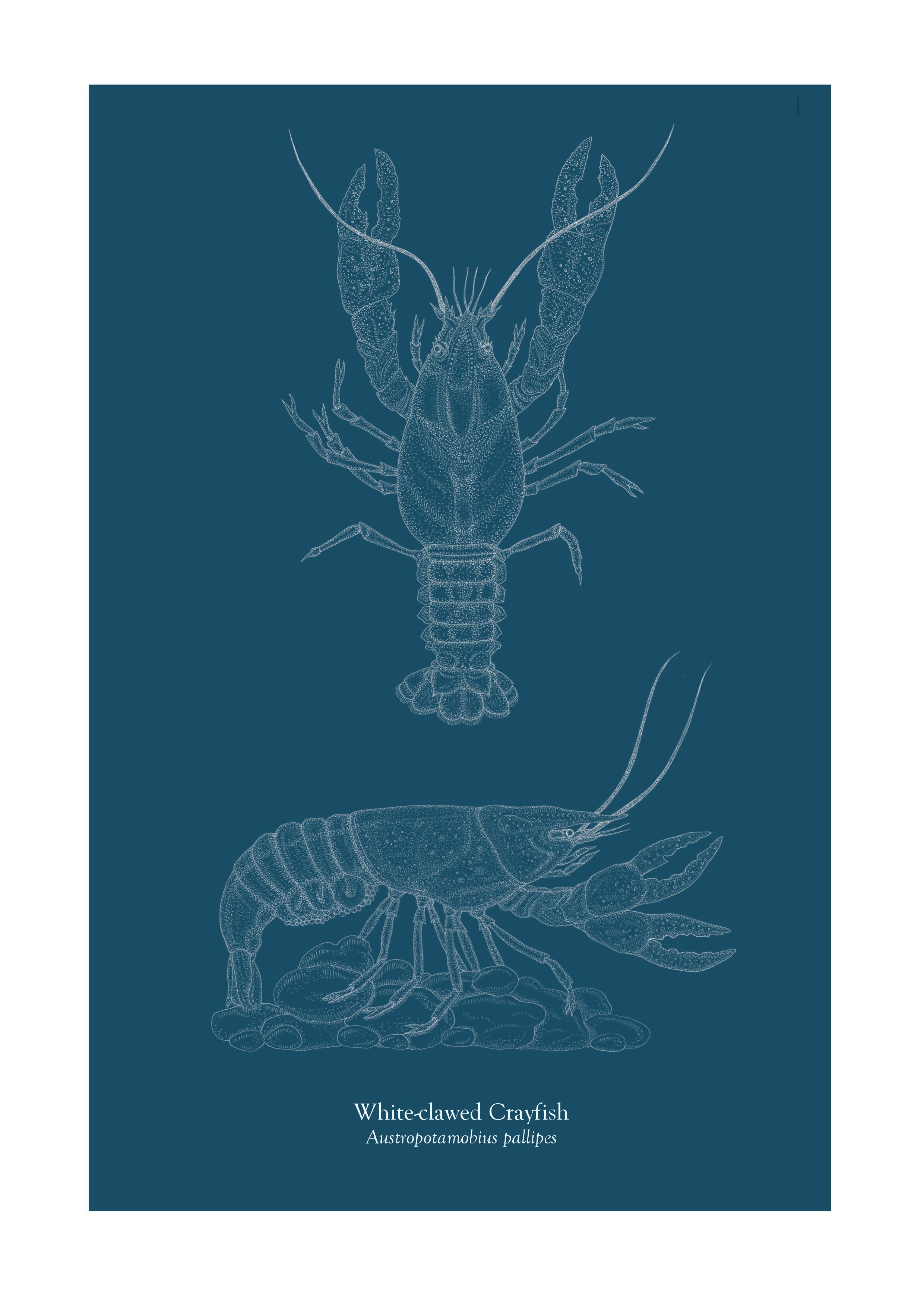 Freshwater Crayfish Study