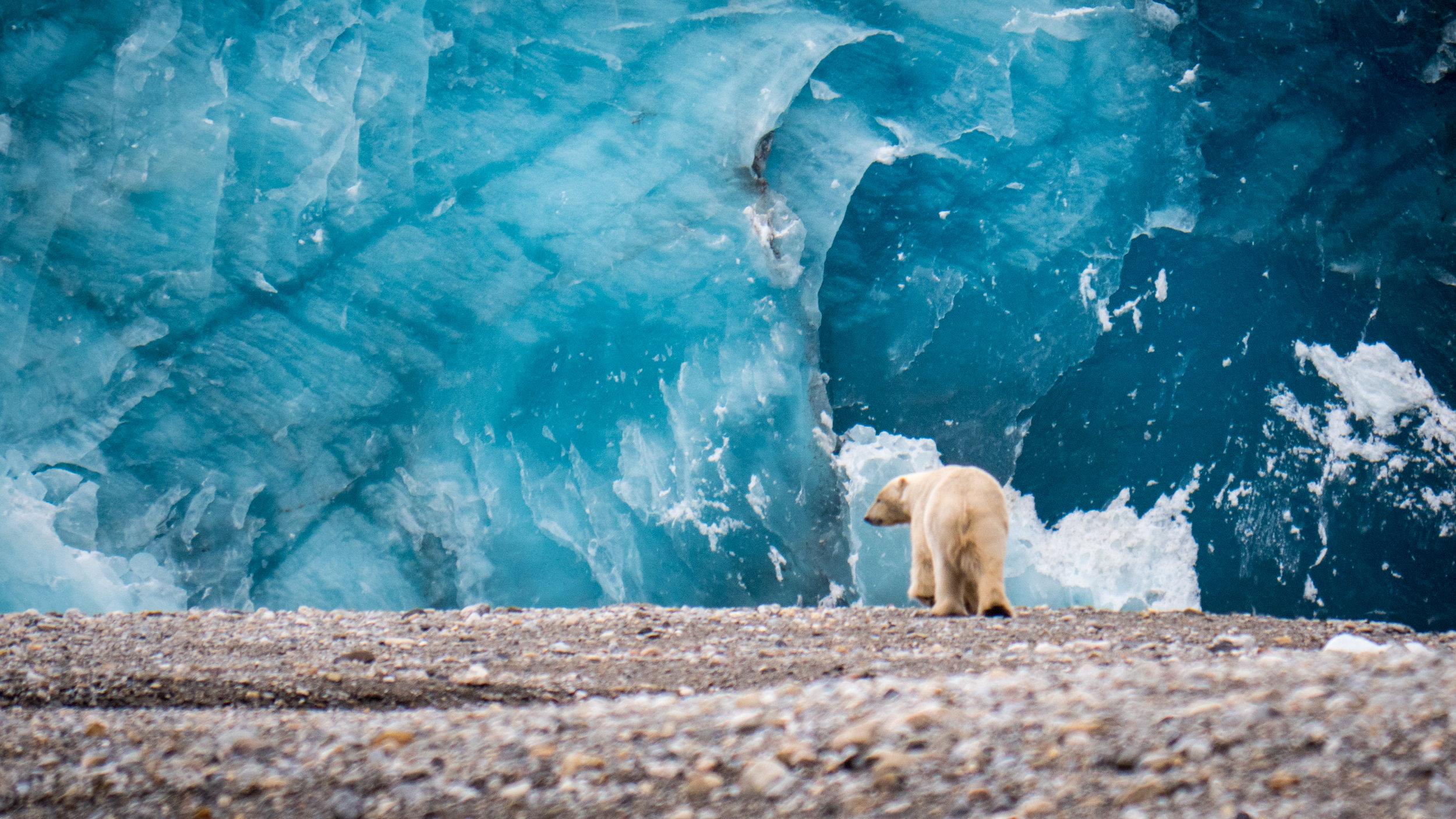 Svalbard©VN 170819 björn glaciär 16-9-1646.jpg