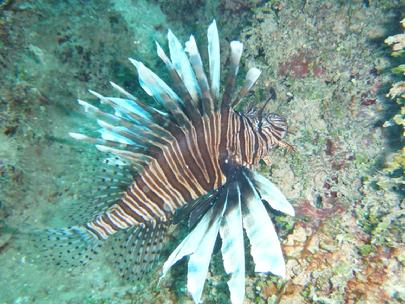 turks and caicos reef fund lionfish.jpg