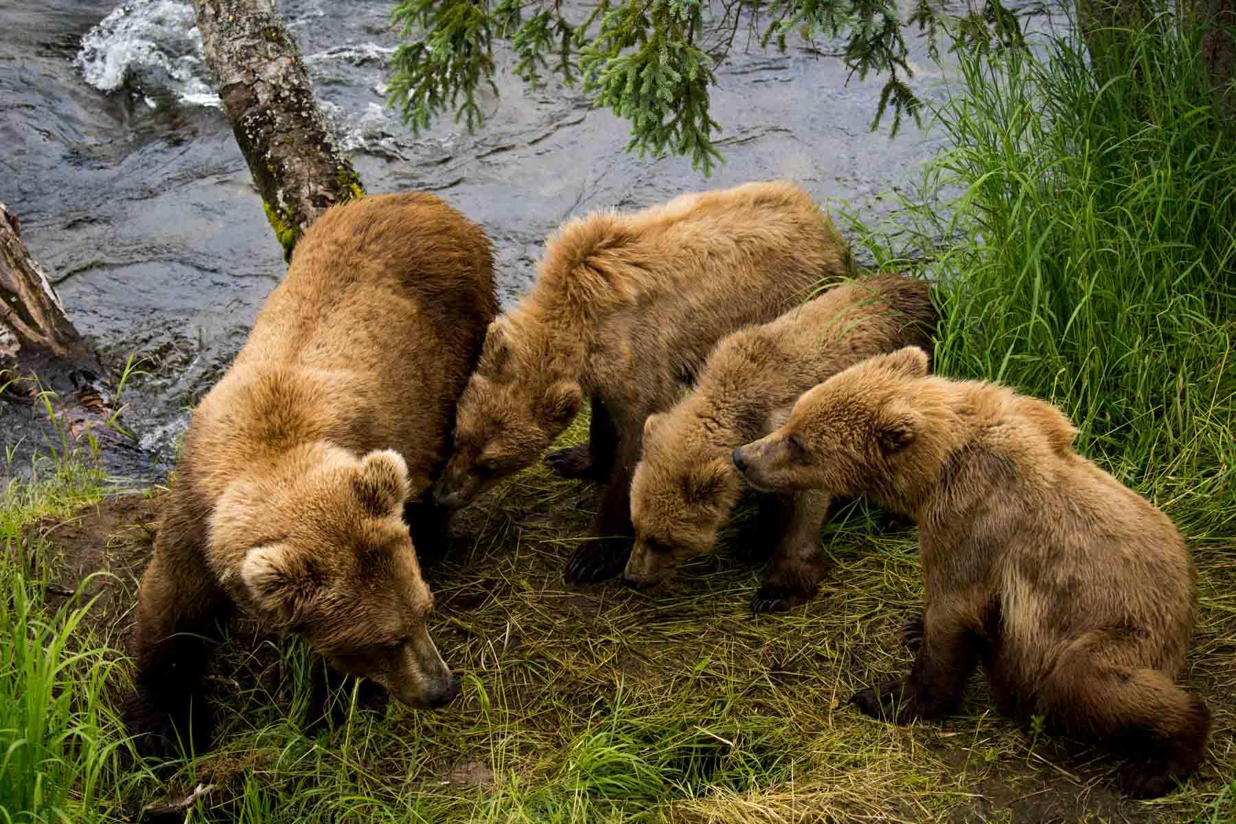 Bears huddled together