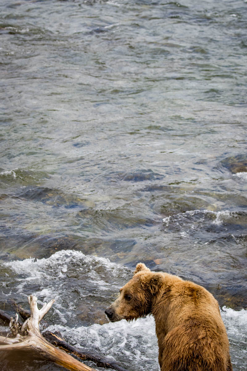 Bears waiting by a stream in Alaska