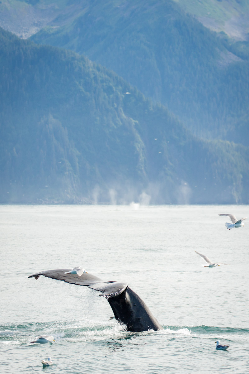Whale tale breaching the water surrounded by birds in Alaska
