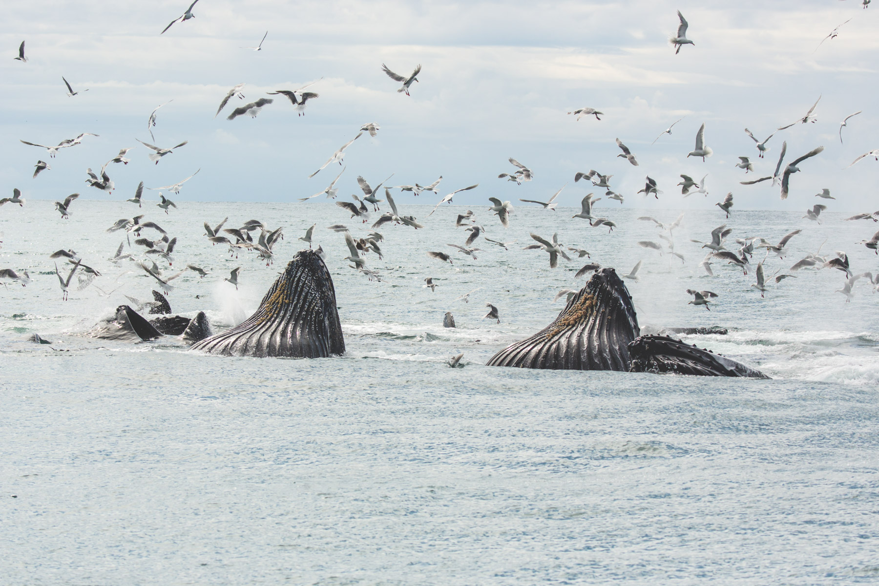 Magical whale surrounded by birds in the Alaskan ocean