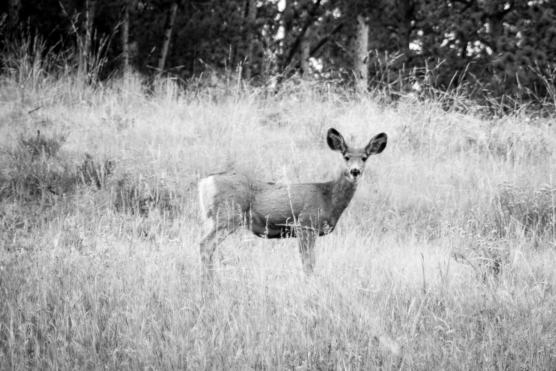 Wild deer in Missouri