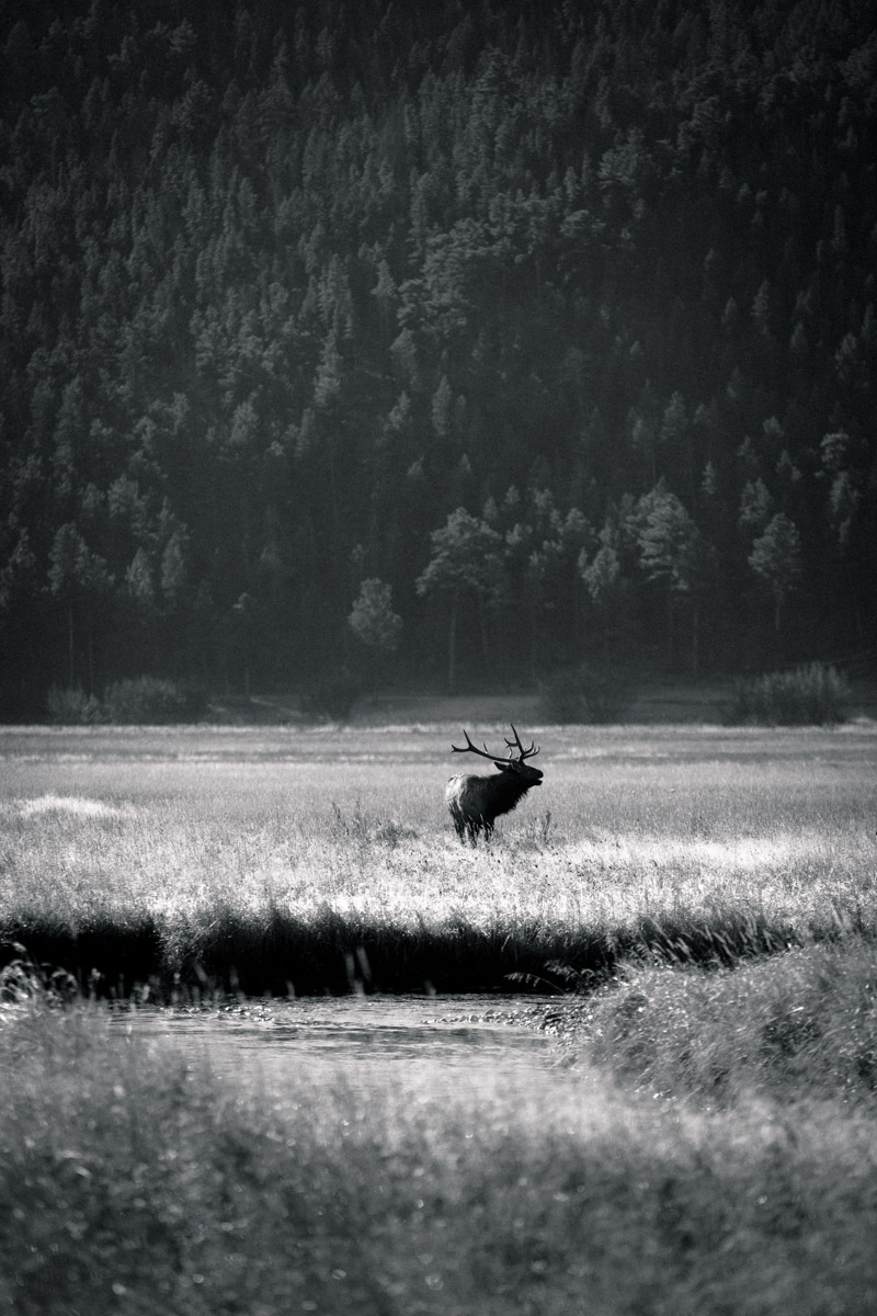 Black and white elk in a field