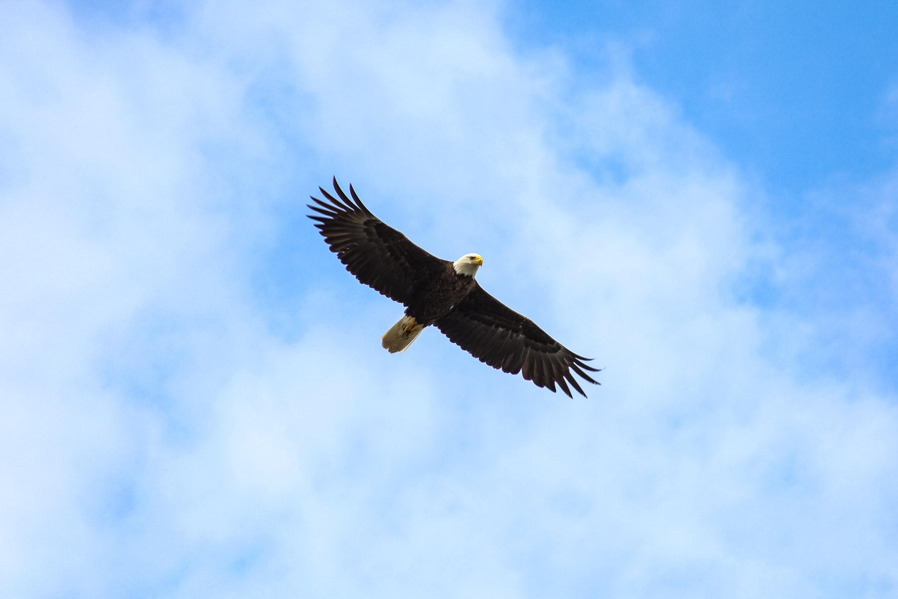 Eagle flying in an empty sky