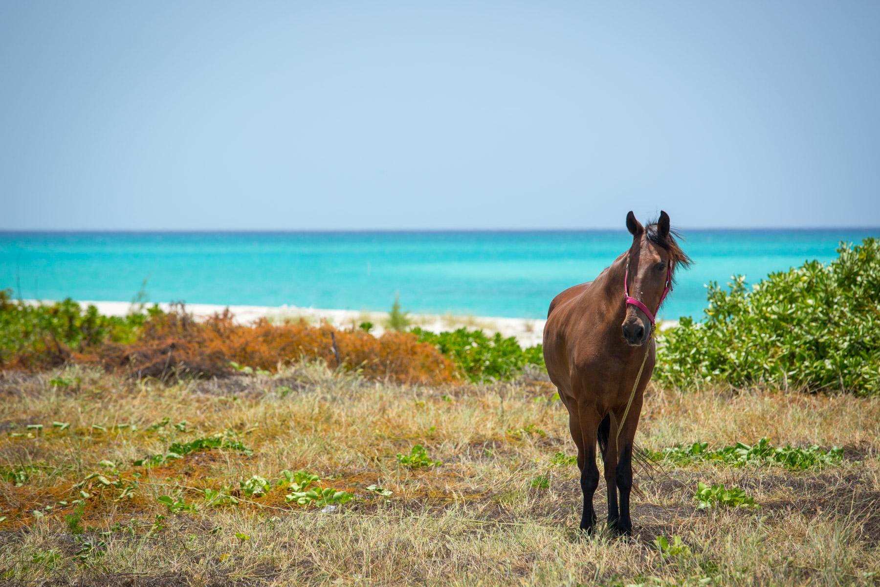 Horse on a island the bahamas